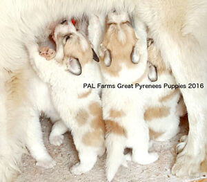 Great Pyrenees Puppies CKC Registered available July 2016