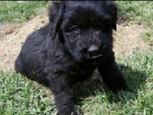 Looking for black purebred Bouvier pup