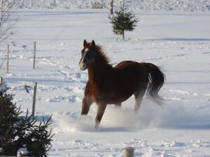 Tennessee Walker Mare / HORSE FOR SALE