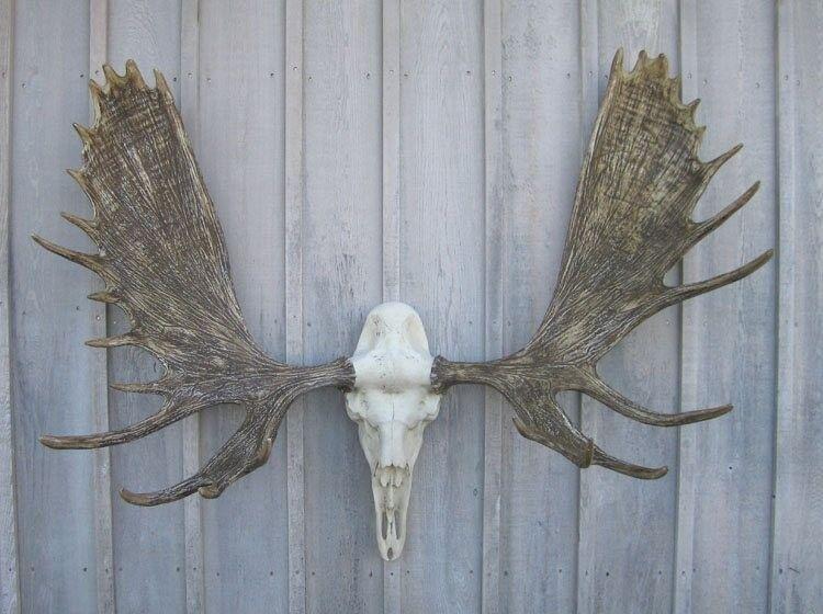 """NEW 60"""" Alaska Bull Moose Antler Rack European Cast Mount Cabela"""