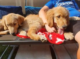 golden retriever pups 4 left