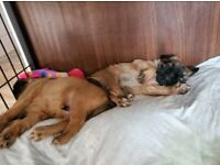 Beautiful one boy and one girl Brussels Griffon