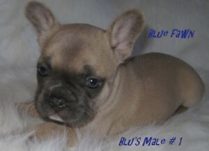 French Bulldog Kijiji In Calgary Buy Sell Save With Canadas