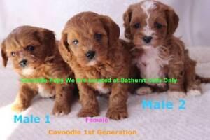 1st Generation Cavoodle Parents DNA tested