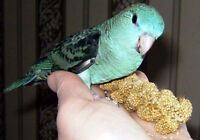 Beautiful baby marine Lineolated Parakeets ( Linnies ) for sale