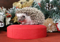 *** CHRISTMAS BABY HEDGEHOGS HEDGIES ***