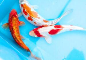 Koi, Pond Plants, Hardware and Supplies