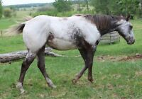 Yearling Black & white registered Appaloosa filly