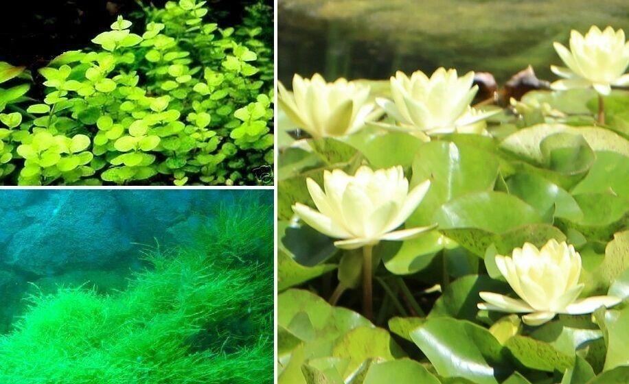 Teichpflanzen Set C - Pflanzen für den Gartenteich winterharte blühende Pflanzen