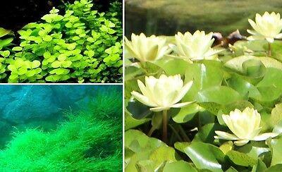 Teichpflanzen Set C / Pflanzen für den Gartenteich winterharte blühende Pflanzen