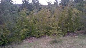 CEDAR TREES for hedging, privacy, 'green' snow fence $1/foot