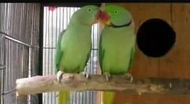 Alexandrine parakeet pair with cage nest box