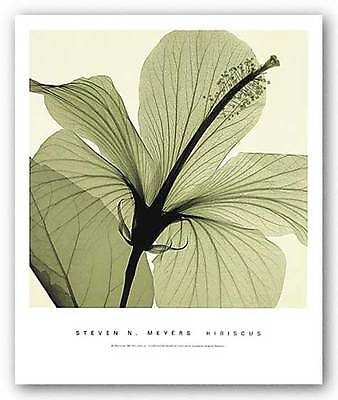 FLORAL ART PRINT Hibiscus Steven Meyers ()
