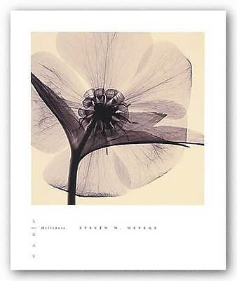 PHOTO FLORAL ART PRINT Hellebore by Steven Meyers 8x8 ()