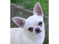 Chihuahua smoothcoat adult for sale