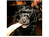 kc reg toy poodles PRA CLEAR