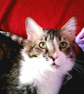 Young Male  - Domestic Medium Hair - brown-Tabby - Brown