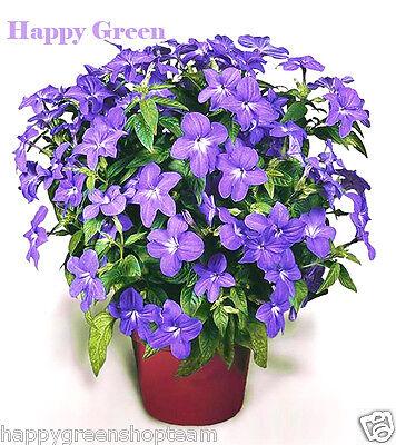 Browallia - Amethyst Flower - browalia americana - 400 seeds - easy to grow