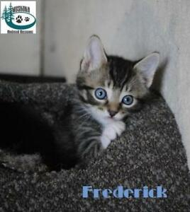 "Baby Male Cat - Domestic Short Hair: ""Frederick - Bold Guy!"""