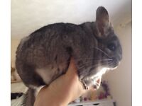 A pair of male chinchillas + extras