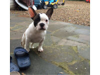 White pied full breed French bulldog