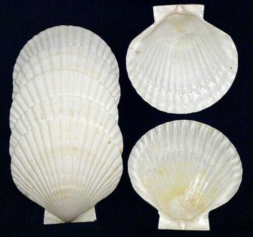 "Authentic Japanese Baking Scallop Dish Half Shells (4"") Clam~ 6 Pcs."