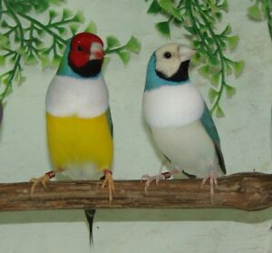 2018 male and female gouldian finches