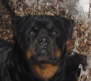Rottweiler | Adopt Dogs & Puppies Locally in Alberta