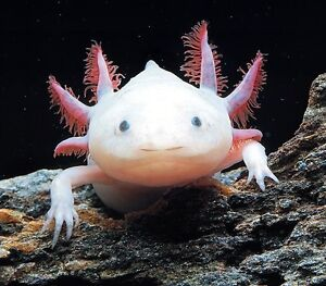 Axolotl Amphibians for Sale