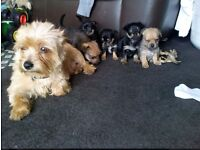Puppies ready now