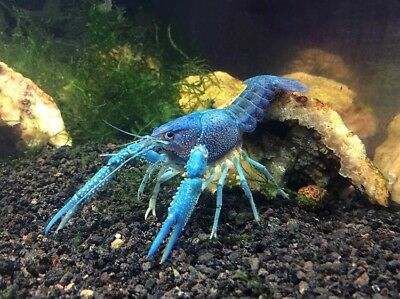 Live Electric Blue Lobster - Aquarium Baby Crayfish Crawfish - 1