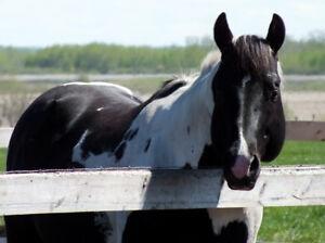 Stunning APHA/PtHA Homozygous Tobiano stallion with show points!