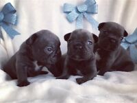 French bulldog BLUE puppies