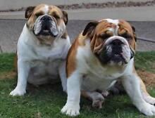 British Bulldog Puppies 4 sale, Pedigree, Both parents DNA Tested Park Ridge South Logan Area Preview