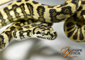 Carpet Pythons Available