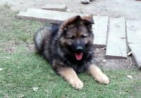 REGISTERED GERMAN SHEPHERD Male PUPS