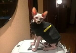 Unaltered, Male, Sphynx Cat - Imported from Russia