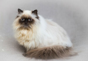 Exotic Longhaired Persian Male