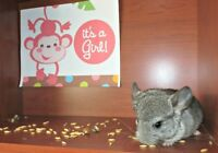 Grey Female Chinchilla Kit 8 Weeks Old