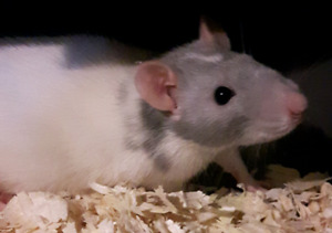 Feeder Rats For Sale