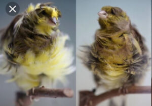 2 MALE FRILL CANARIES FOR SALE