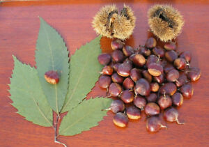 American Chestnut seed wanted!!!