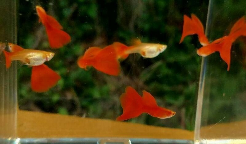 Full red albino⭐young pair of guppy