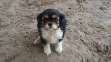 Purebred Cavalier King Charles Pups Carrum Kingston Area Preview