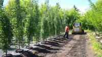 largest selection of Swedish columnar aspens in Town 100's