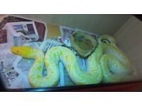 MALE WHITE PHASE PYTHON RETICULATED