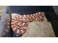 Adult male candycane cornsnake