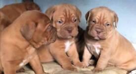 Dogue de Bordeaux puppies for sale