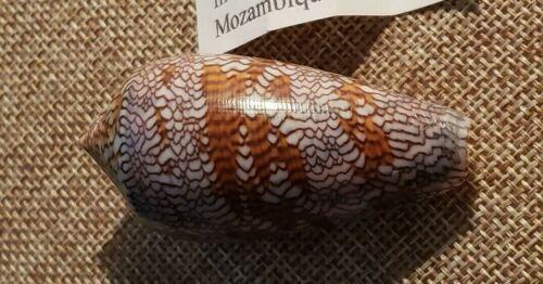 Conus Textile Euetrios 59.7mm  Beautiful Specimen Mozambique 1998 ⭐
