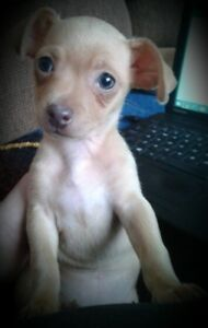 Female Shorthaired Chihuahua for sale
